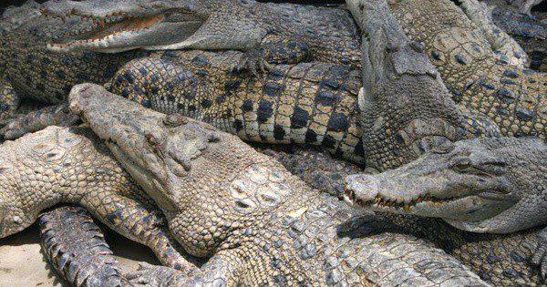 A Visit to the Mamba (Crocodile) Village in Nairobi