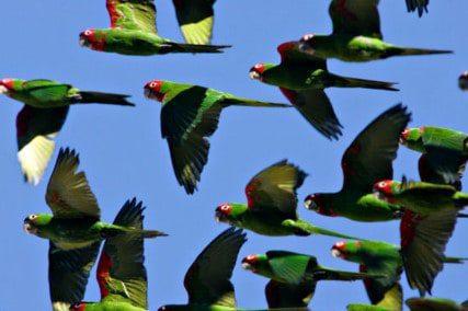 Telegraph Hill wild parrots circling Washington Square
